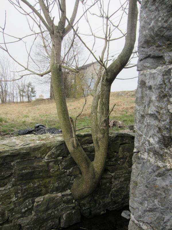 StoneWallTree