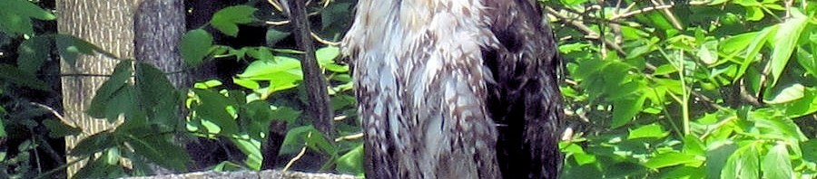 HawkOnWall